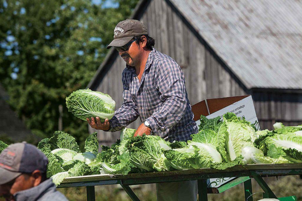 Farm-production---Leblanc---picking-Napa-cabbage0037