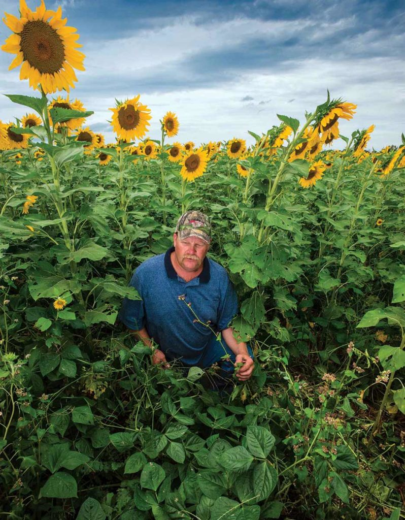 A cover crop blend planted between rows of sunflowers provides several benefits for Derek Zongker.