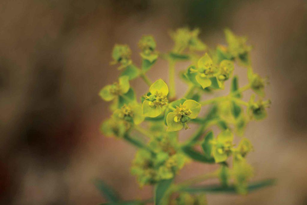 La recherche d'agents de lutte biologique contre l'euphorbe feuillue remonte aux années 1970, portant sur plusieurs insectes viables, dont la puce de jardin d'Eurasie.