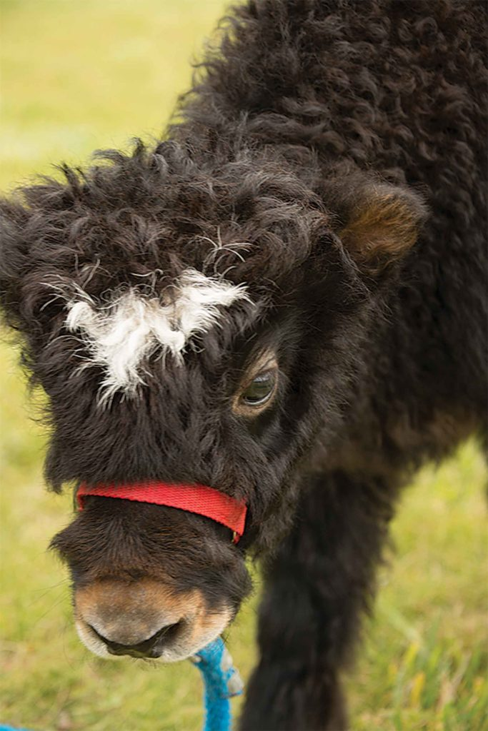Halter breaking yak calves adds value for the hobbyist market.