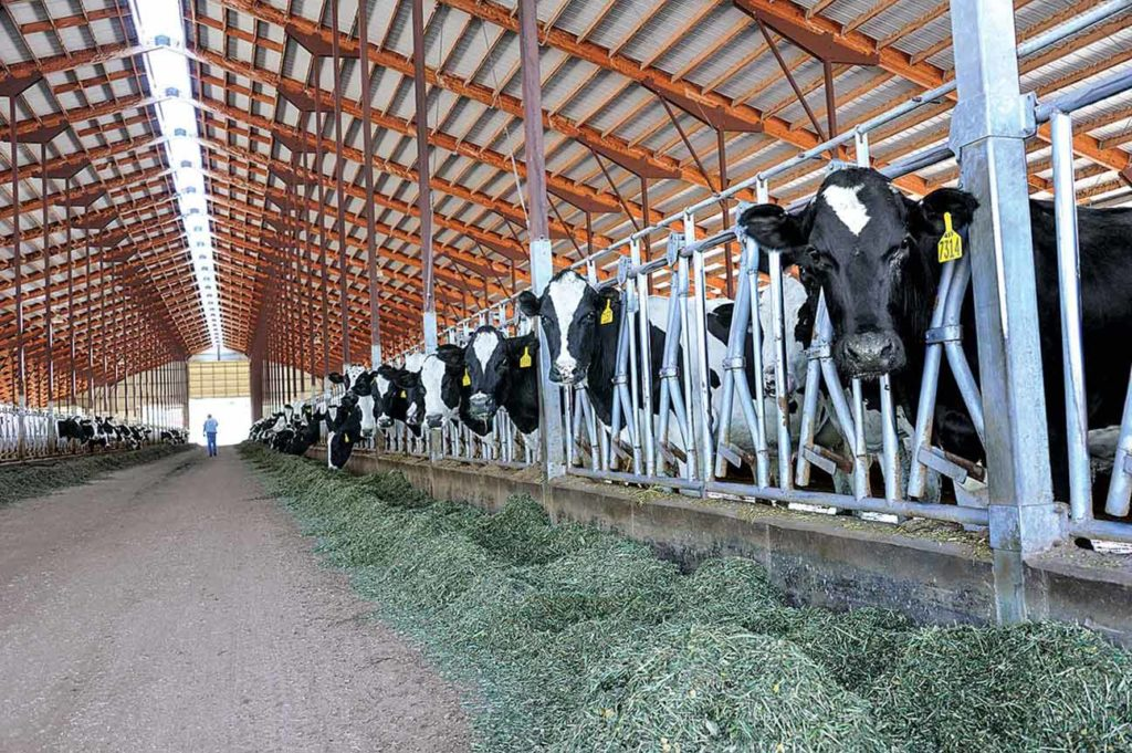 Freestall dairies permit frequent scraping and, often, covered manure storage to reduce ammonia emissions.
