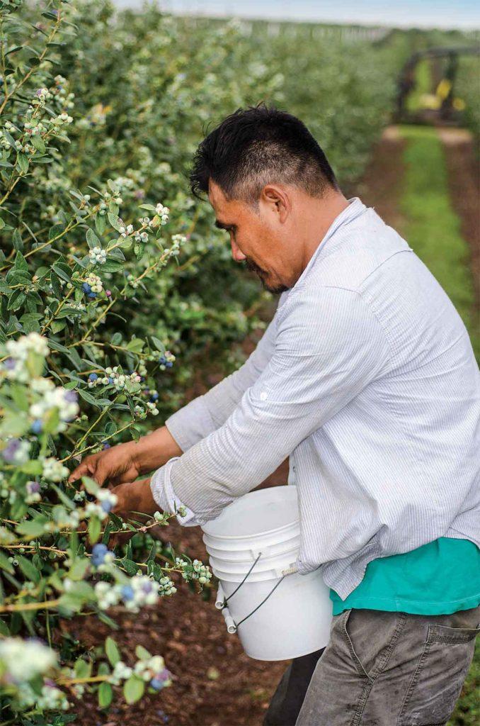 La ferme offre la cueillette en libre-service et commerciale du bleuet. Les Hill conditionnent leurs propres bleuet et ceux d'autres fermes de la Floride.