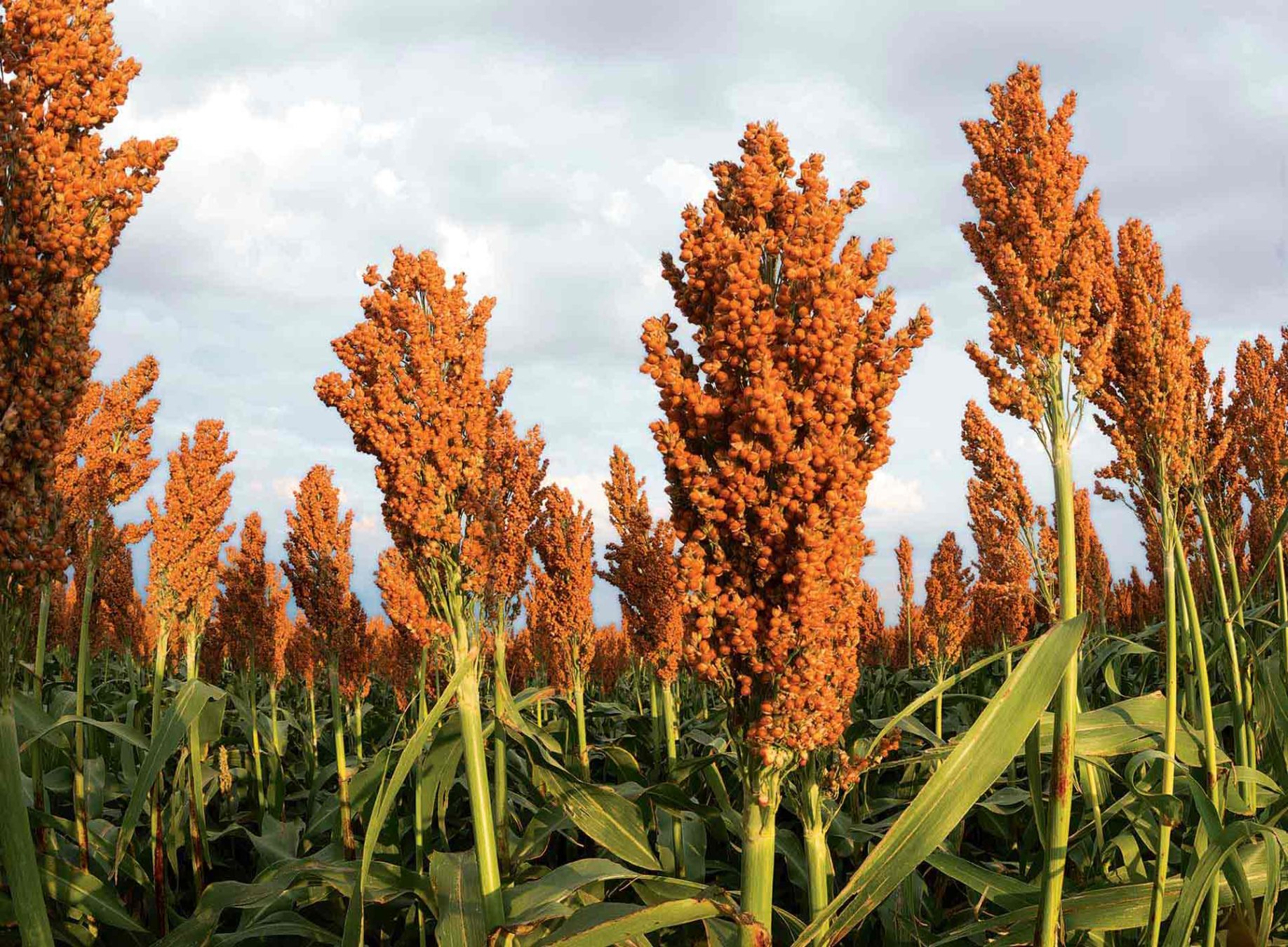 souped up sorghum