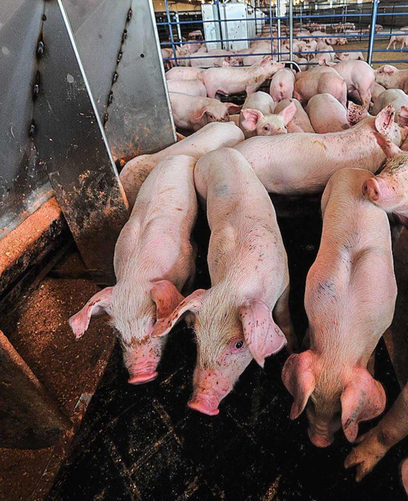 Lagoons at pig finishing sites produce biogas.