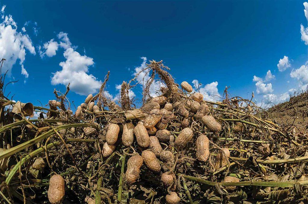 Carver poussa plusieurs paysans à essayer l'arachide.