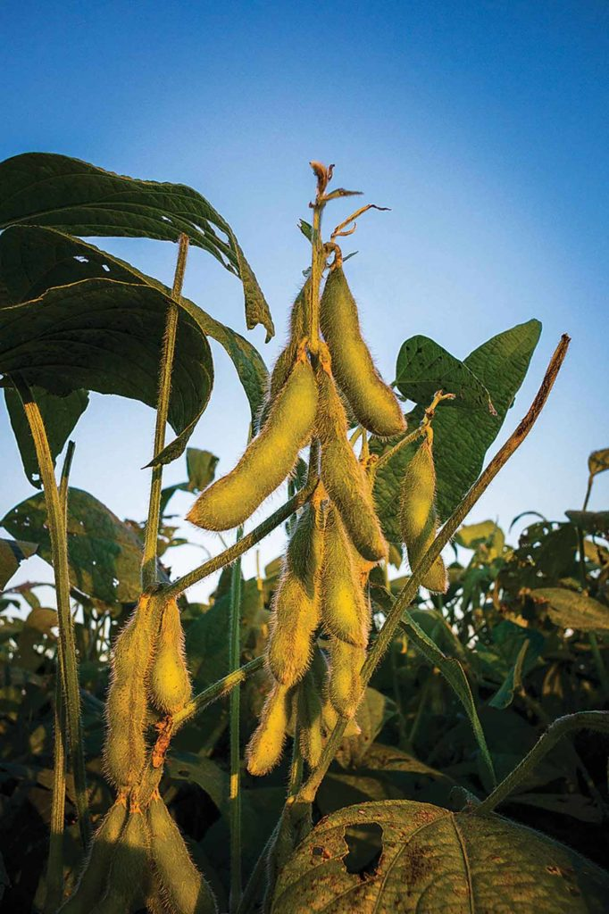 Computer modeling suggests that soybean plants overinvest in producing leaves, using resources that could be turned into yield.