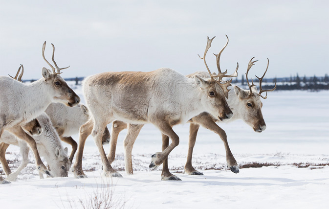 Sabina Stalled On Caribou Climate Change Concerns By Tommy