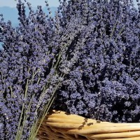 Purple Mountain Lavender in Western Montana.