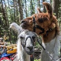 Swan Mountain Llama Trekking in Western Montana.