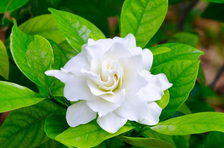 Gardenia essential oil: Everything you need to know