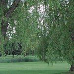 Summer Overhanging Tree