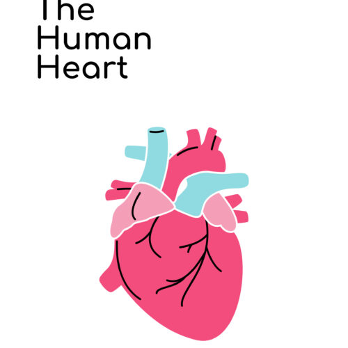 The Human Heart Vocabulary Words