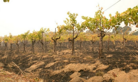 Napa Valley Fires Vineyard