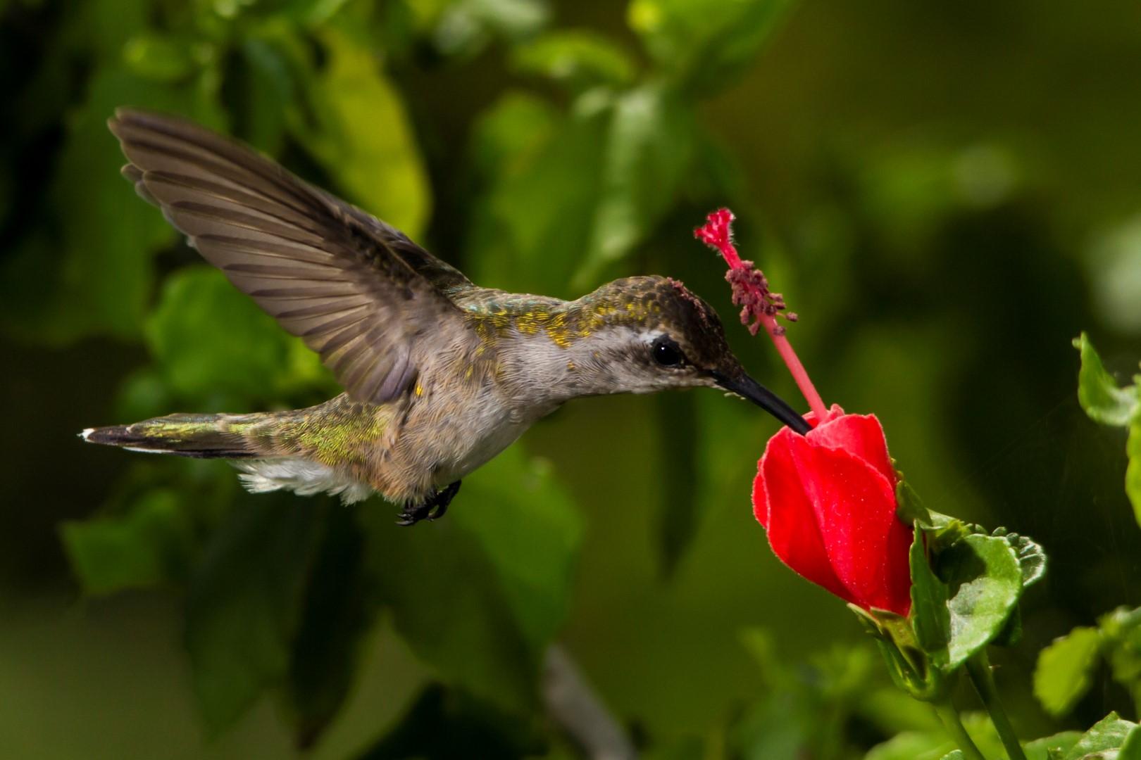 Colibrí cola hendida, un residente yucateco - Centros Conacyt