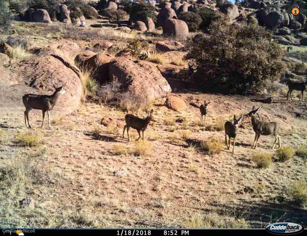 Mule deer herd below house