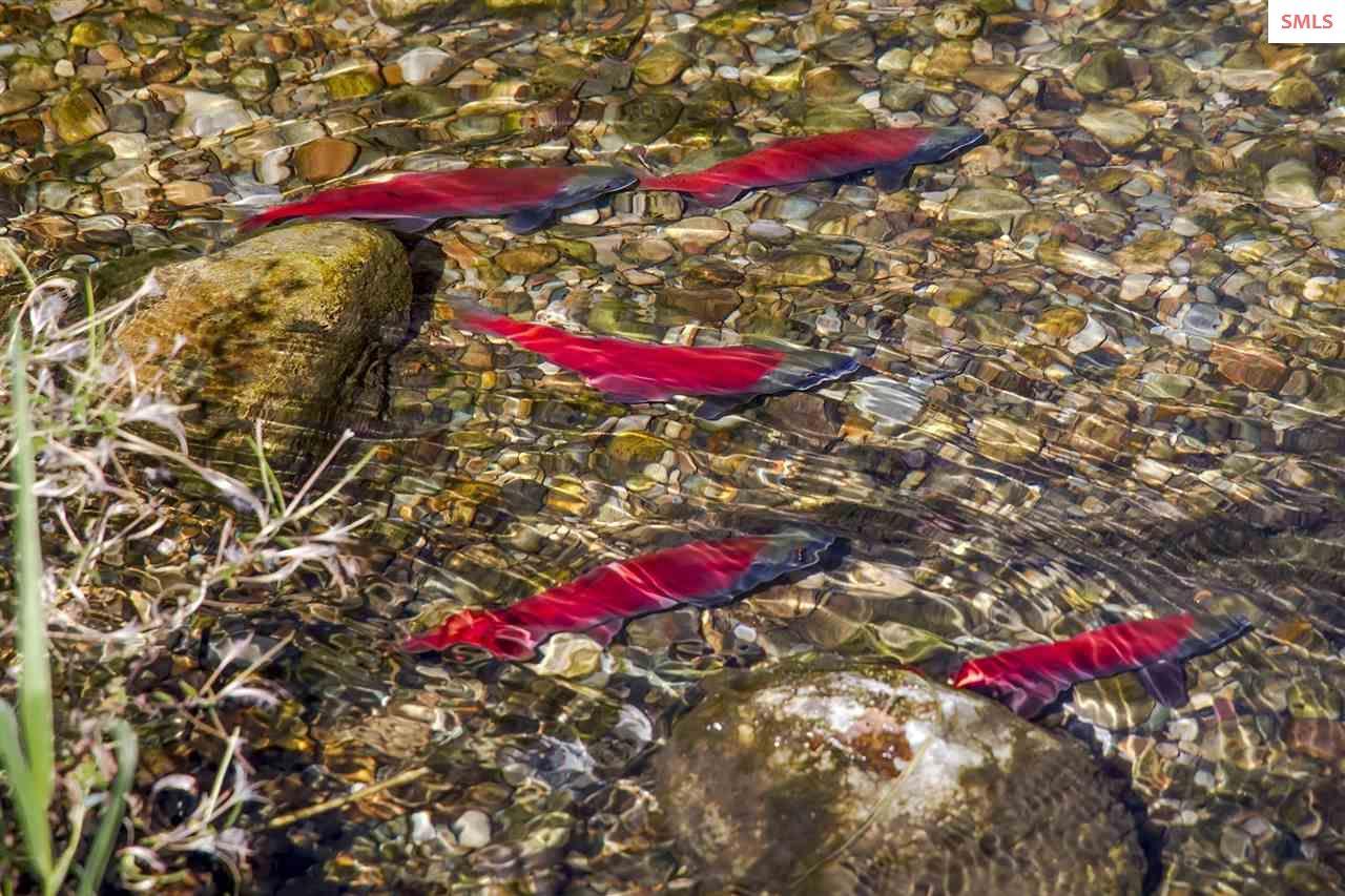 Kokanee Salmon return to spawn in crystal clear Gr