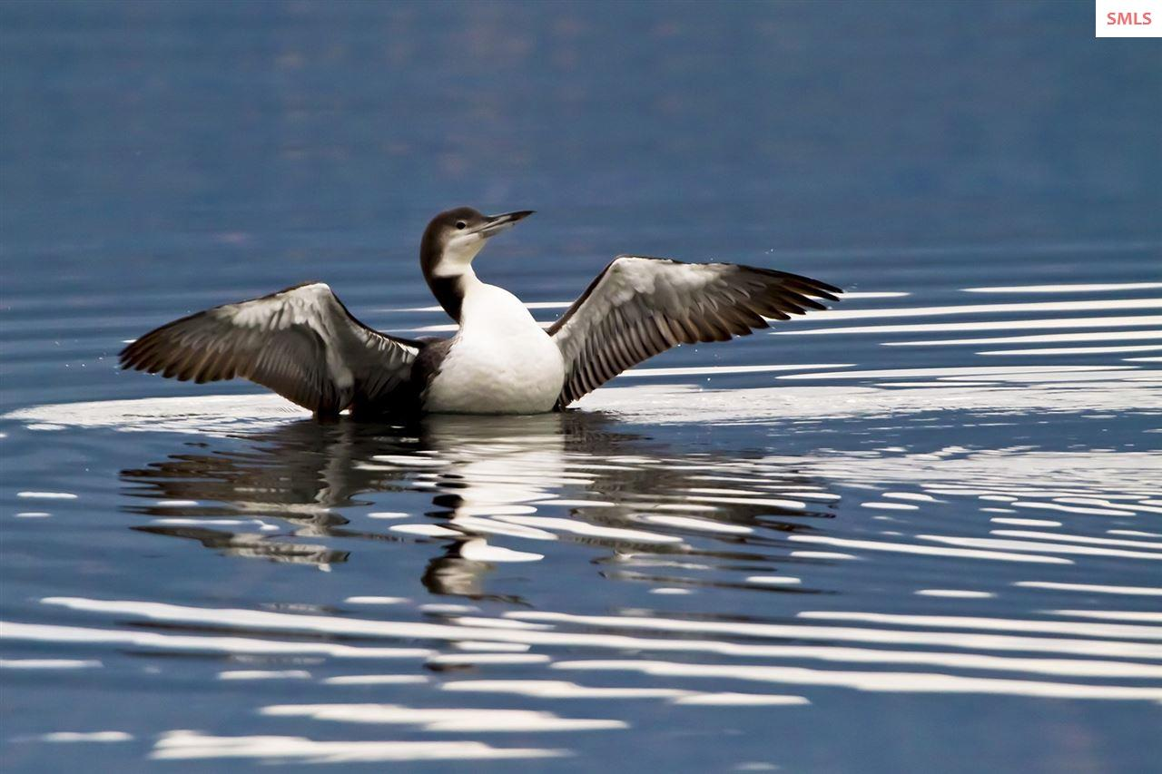 A resident Loon shows off