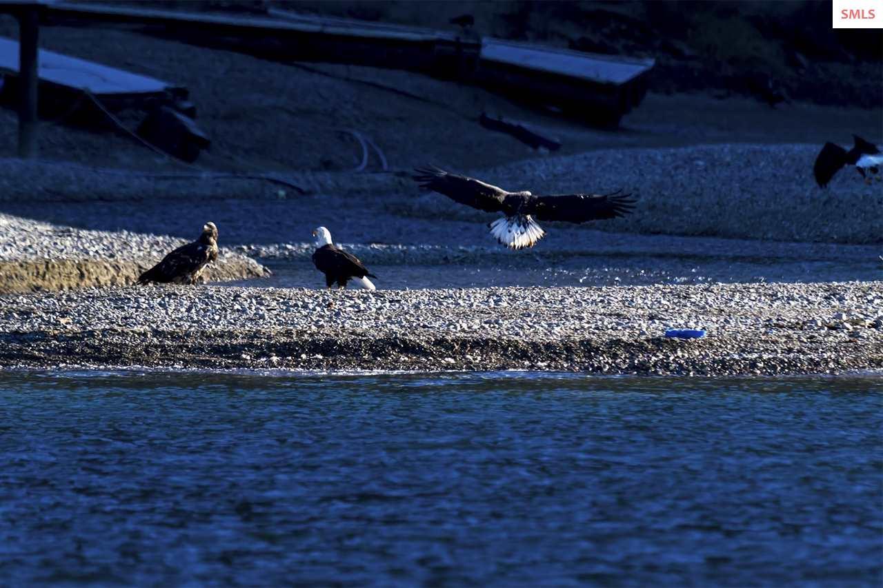 Hundreds of Bald Eagles feed on the spawning Kokan