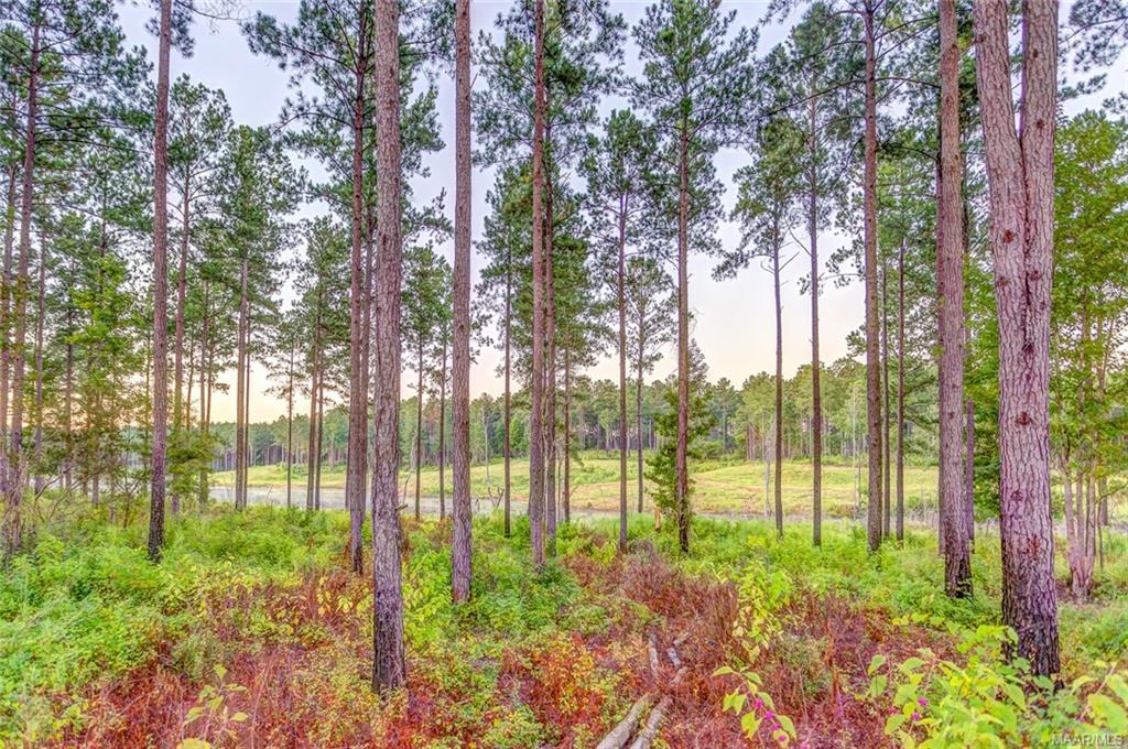 39 Year Old Plantation Pine Forrest