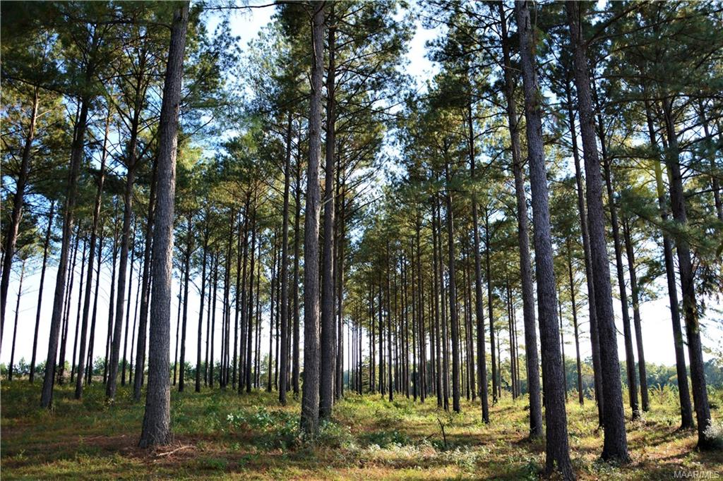 Acres of Mature Pines Ready to cut!