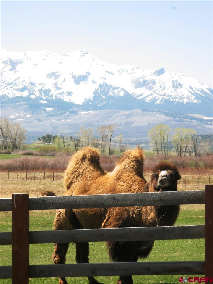 Bactrian camels love the views!