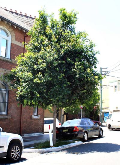 healthy tree in Marrickville