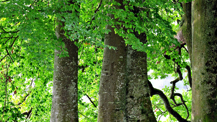 trees dying before maturation