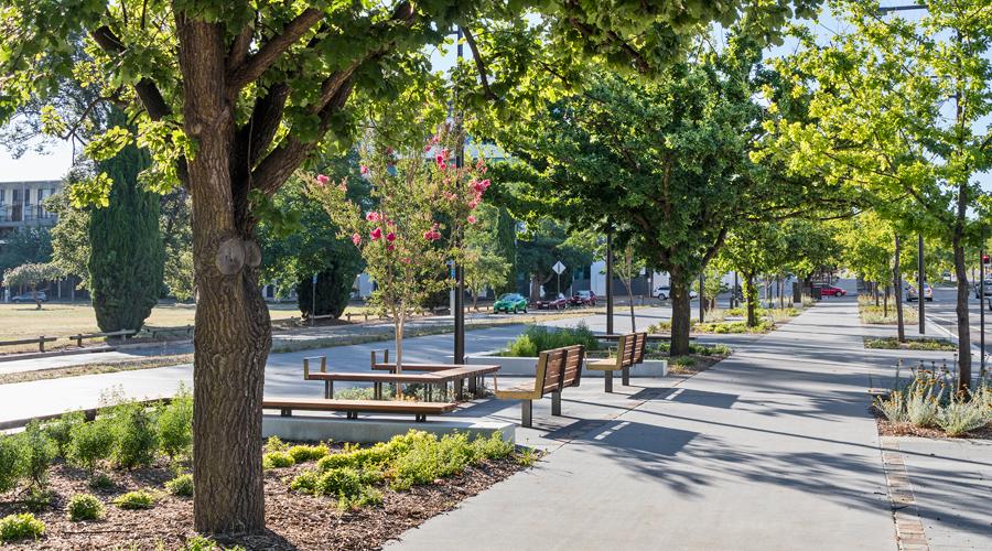 Quercus Robur tree - Constitution Avenue, Canberra