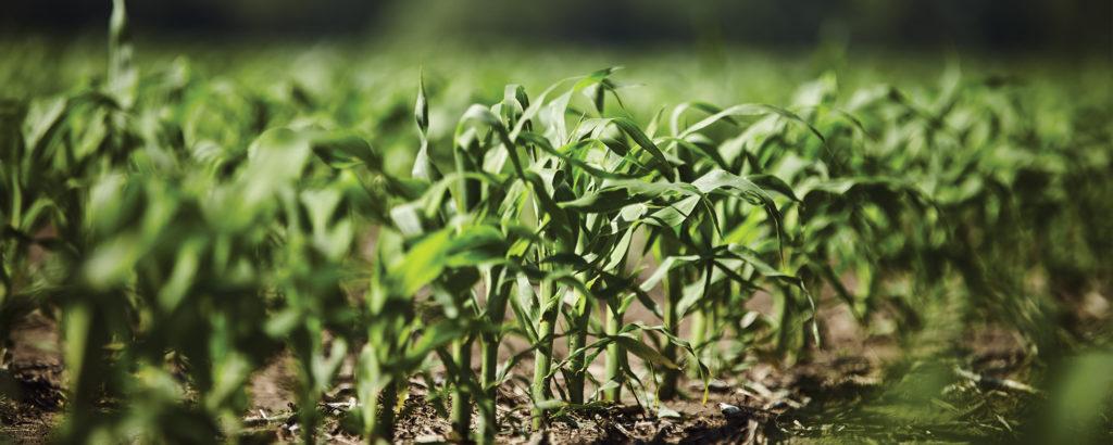 early-season-corn
