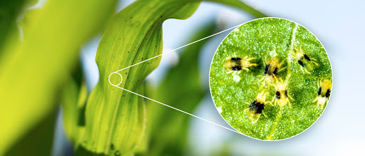 The spider mite is almost impossible to detect by the human eye. Field health imagery can help find infested areas.