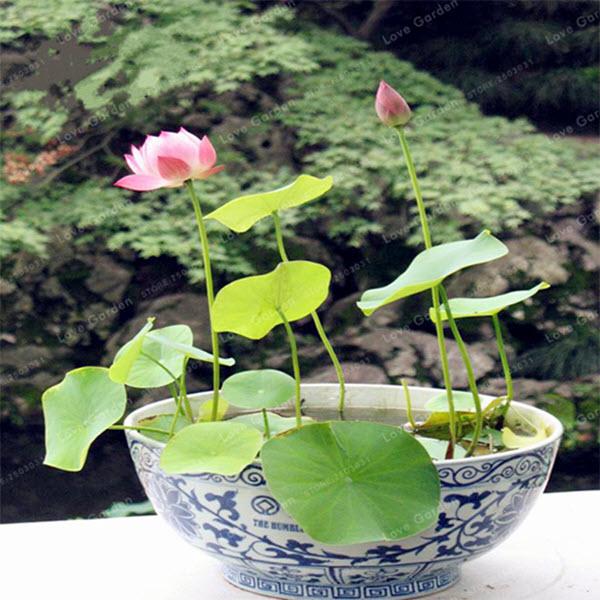 Premium Bonsai Bowl Lotus Seeds 5 Seeds Pack Hot