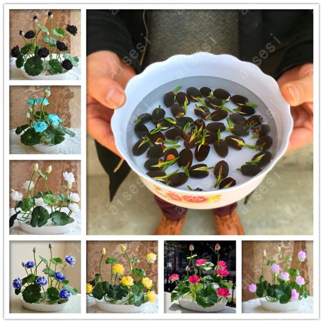Premium Bonsai Bowl Lotus Seeds