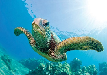 Product Waikiki Morning Turtle Snorkel