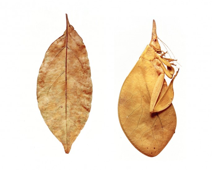 Sandy Nicholson, </span><span><em>leaf and leaf insect, from the mimic series, 2006</em>