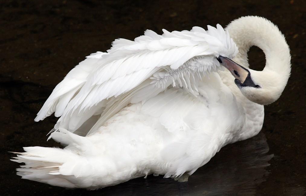 Felicity Somerset, </span><span><em>Swan image #5, 2006</em>, </span><span>Framed chromira print, 22 X 28 ins.