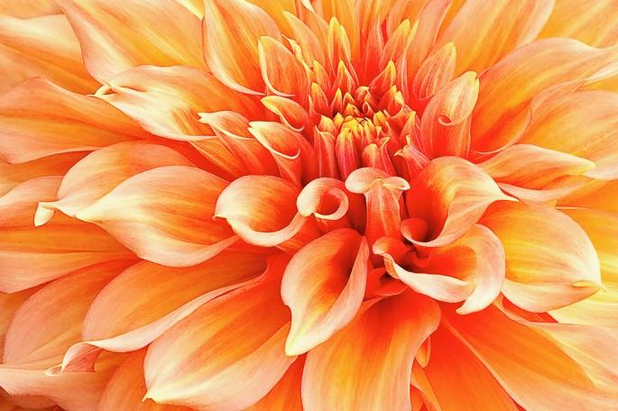 Marilyn Cornwell, </span><span><em>Dahlia in Orange</em>, </span><span>2009