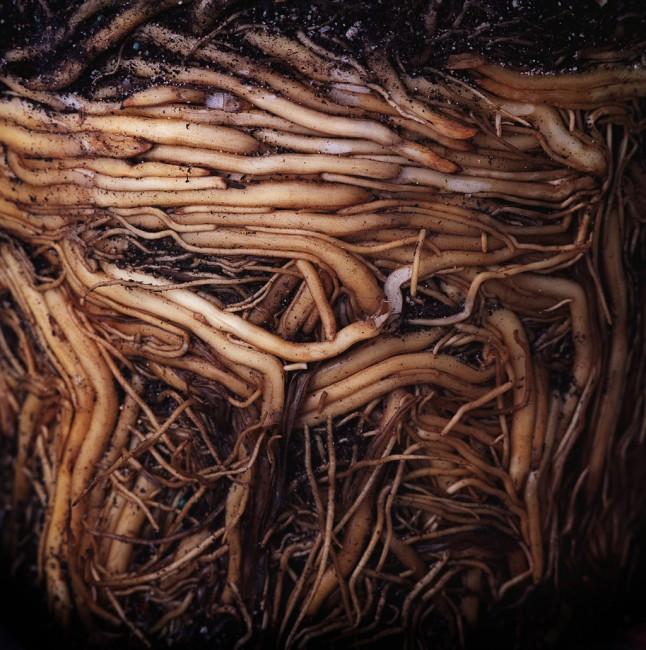 Shawna Eberle, </span><span><em>Roots</em>, </span><span>2010