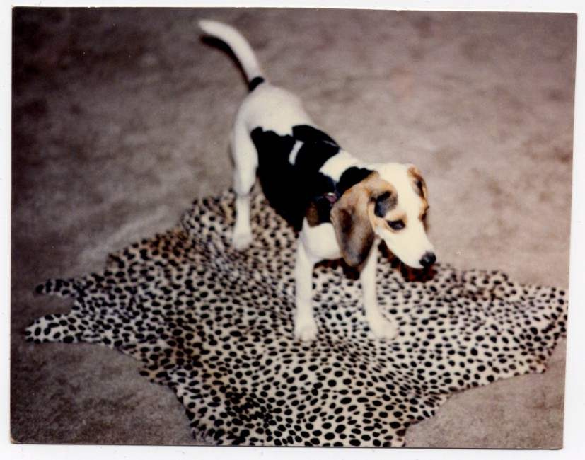 (unknown photographer), </span><span><em>Dog on leopard skin</em>, </span><span>unknown