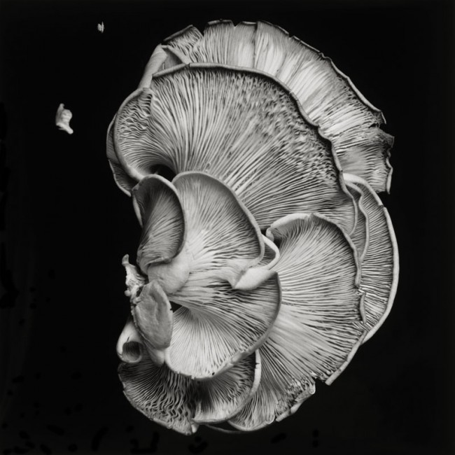 Dale M Reid, </span><span><em>Oyster Mushroom 1</em>, </span><span>2011