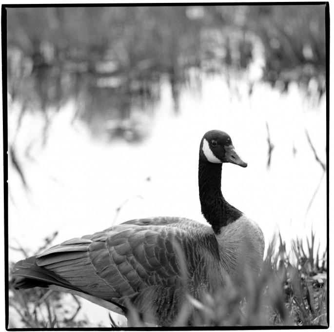 Phillipa C., </span><span><em>The Goose</em>, </span><span>2010