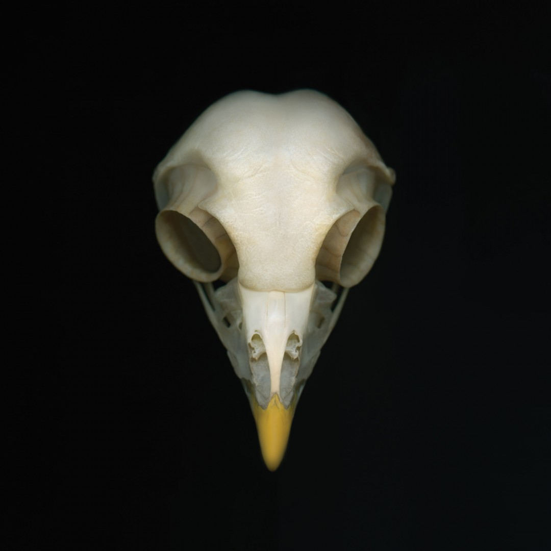 Deborah Samuel, Barred Owl. I, 2012 ©Deborah Samuel 2012/Courtesy of the Royal Ontario Museum
