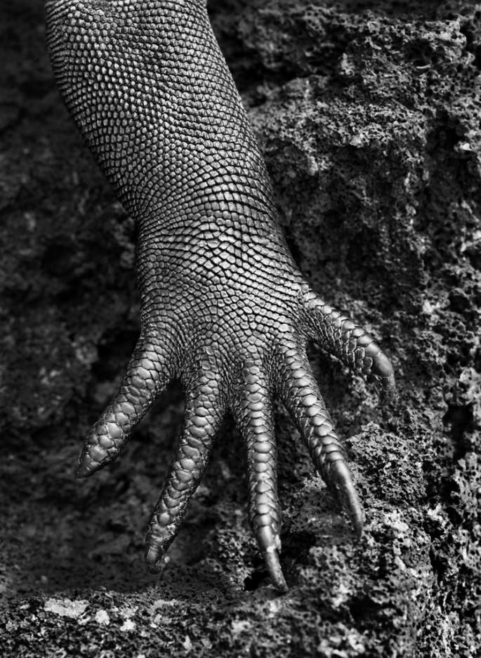 Sebasti&amp;#227;o Salgado, </span><span><em>Marine iguana (Amblyrhynchus cristatus)</em>, </span><span>Galapagos, Ecuador, 2004 &amp;amp;#169 Sebasti&amp;#227;o Salgado / Amazonas images