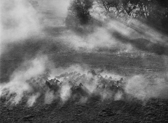 Sebasti&amp;#227;o Salgado, </span><span><em>Plains zebra (Equus quagga)</em>, </span><span>Okavango Delta, Botswana, 2007 &amp;amp;#169 Sebasti&amp;#227;o Salgado / Amazonas images