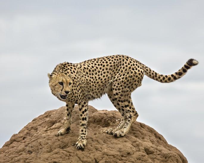 Roberta Bondar, </span><span><em>Male Cheetah on Mound</em>, </span><span>2011