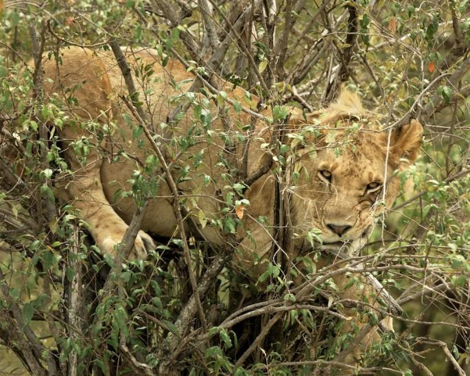 Roberta Bondar, </span><span><em>Lion in a Tree</em>, </span><span>2011