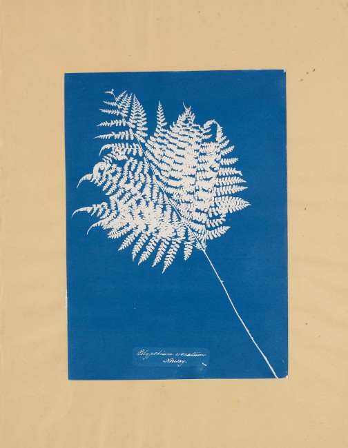 Anna Atkins, </span><span><em>Polypodium crenatum, Norway</em>, </span><span>1854 National Gallery of Canada, Ottawa