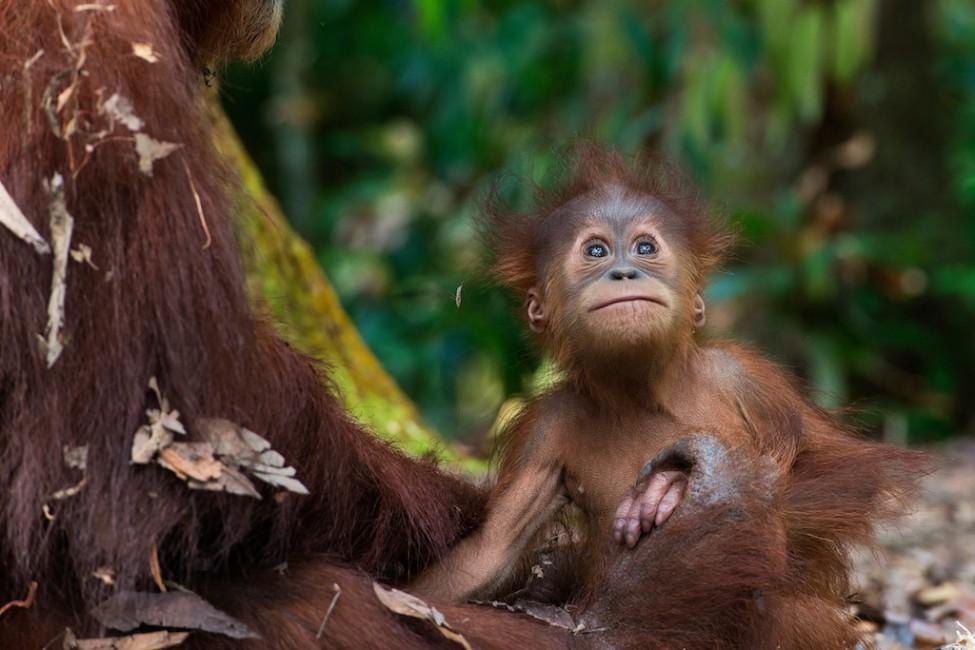 Gita Defoe, </span><span><em>Sumatran Orangutan Society</em>, </span><span>