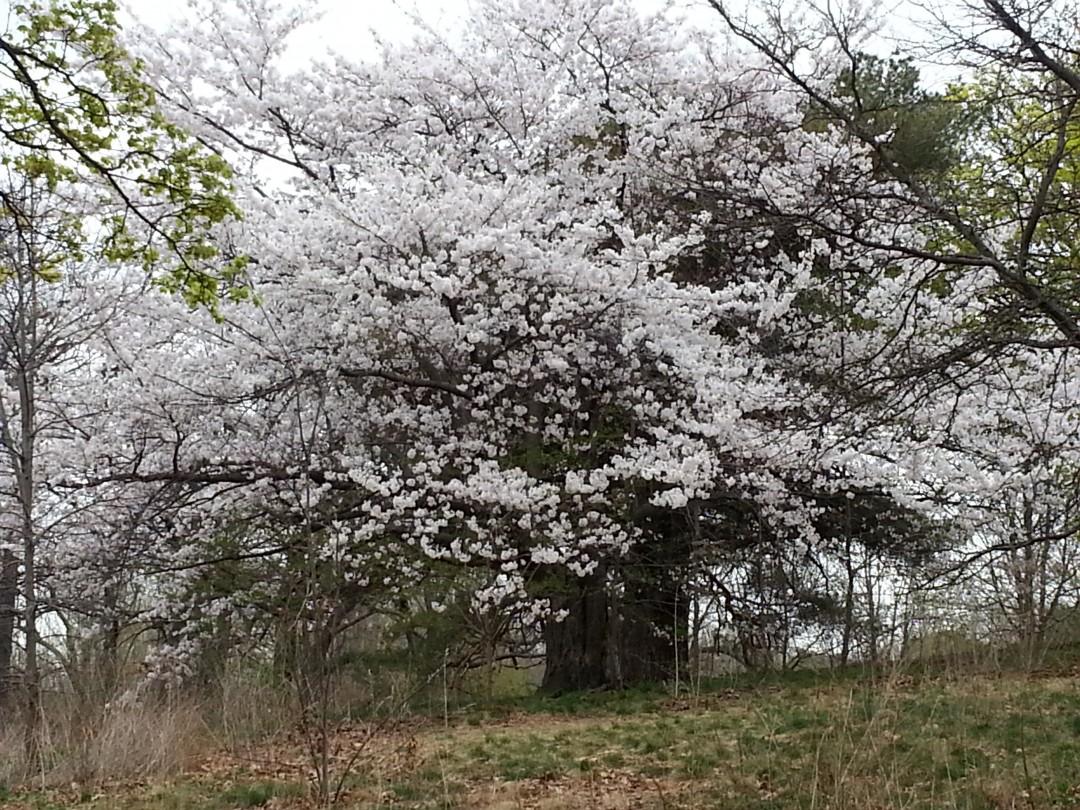 Donna Lypchuk, White Cherry Blossom Madness, 2015