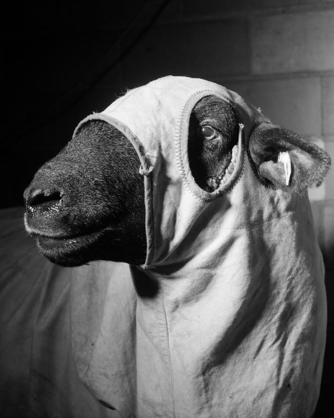 Alec Soth, </span><span><em>Sheep</em>, </span><span>1996. Archival pigment print, 24 x 30&quot;.