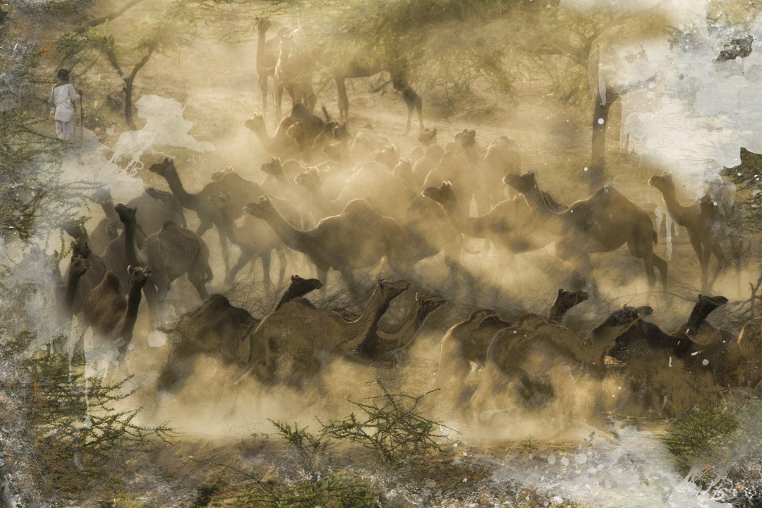 Misha Masek, Camel Herding a sunrise, 2014